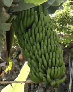 Małe lokalne banany zwane, platanos