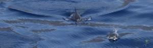 Delfinów pływających w ocean ie