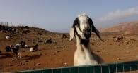 kanaryjska cabra czyli koza